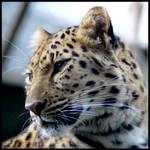 Amur Leopard avatar