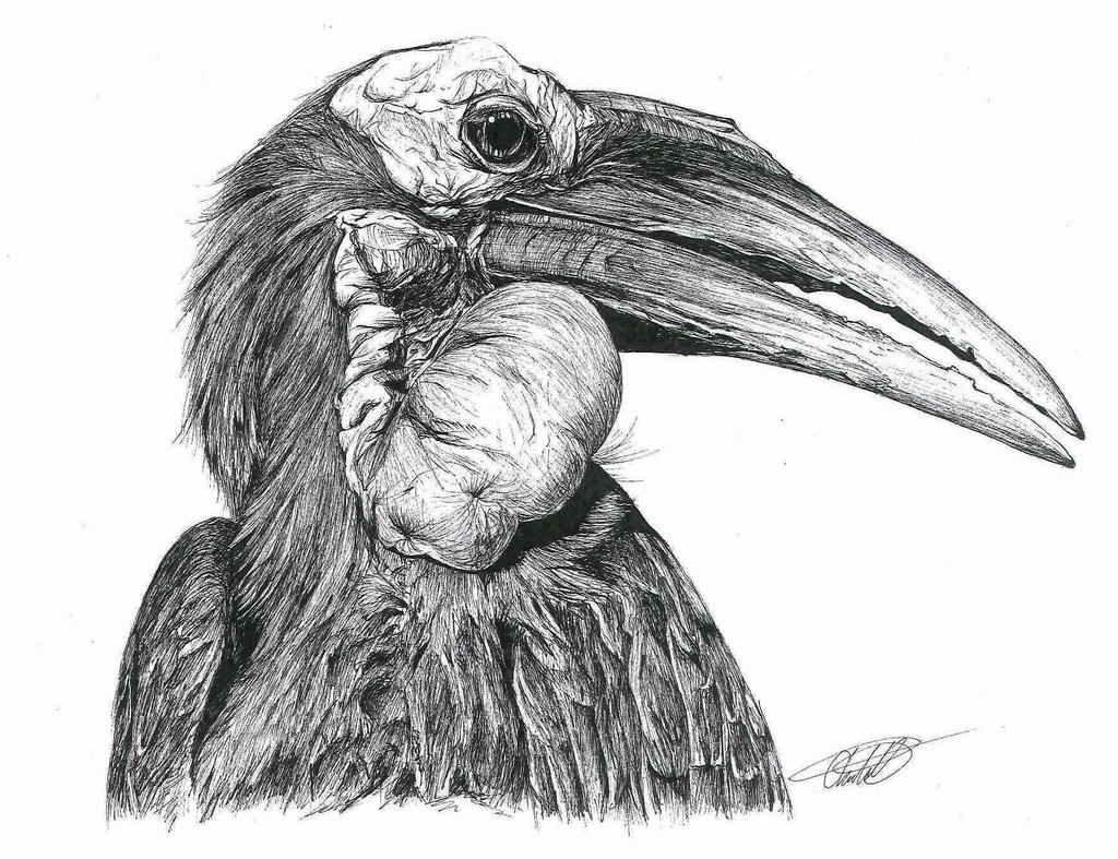Southern Ground Hornbill By Char10tte On DeviantArt