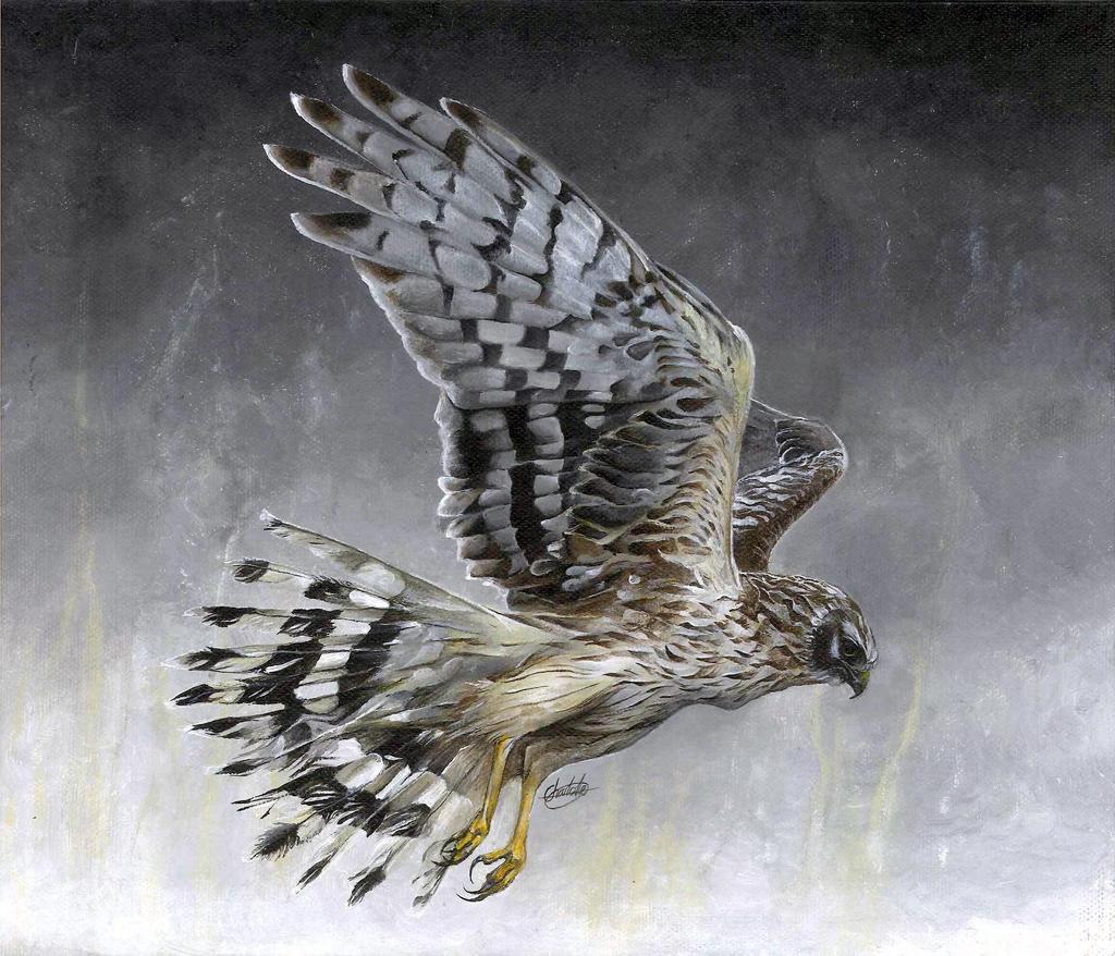 Hen Harrier by Char10tte