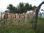 korea:slanting trees and squid