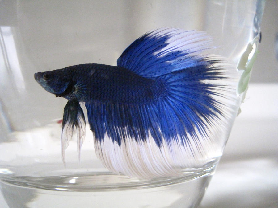 Blue betta fish in bowl for What is the lifespan of a betta fish