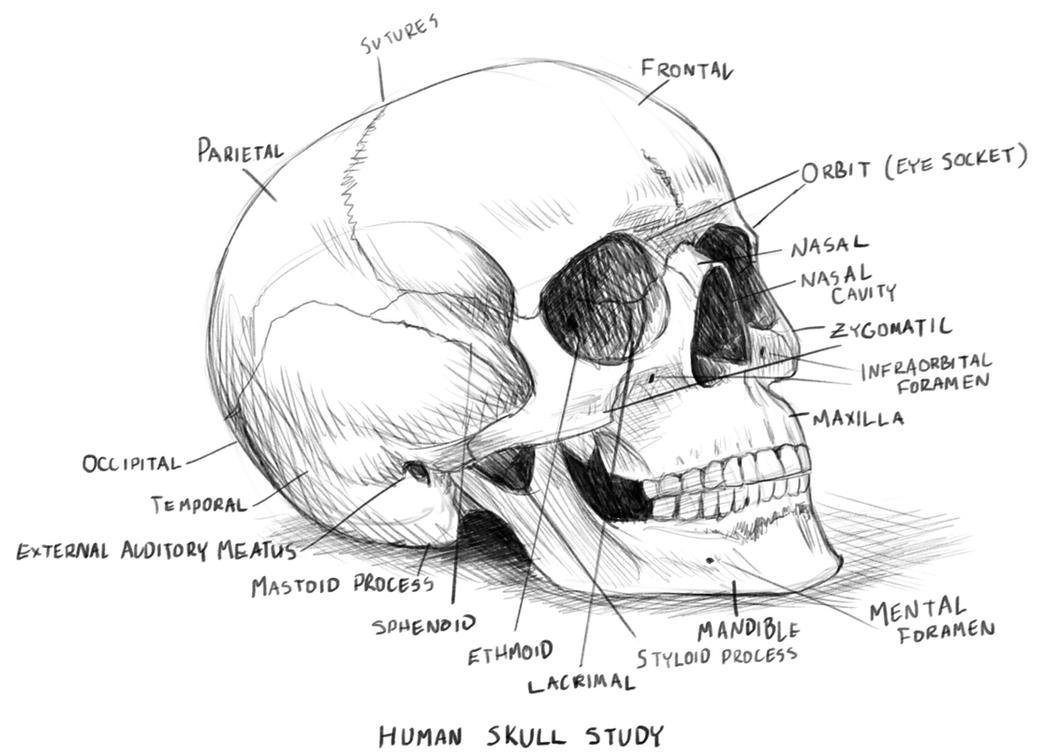 Human Skull Anatomy Study By Rpowell77 On Deviantart