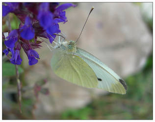 Cabbage White by feetpeet