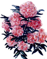 Rododendre by CarmenSelves