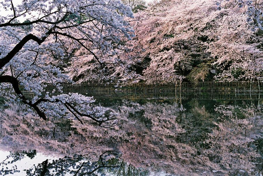 Sakura Drops by taujp