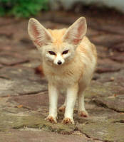 Fennec Fox by Tsukoyomi