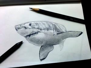 White shark study