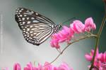 butterfly by derrickfong