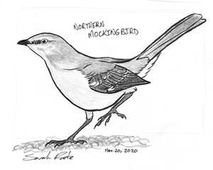Day 50 - Northern Mockingbird