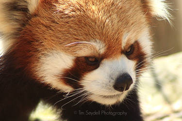 Red Panda Face by timseydell
