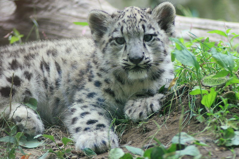 Snow Leopard Cub by timseydell