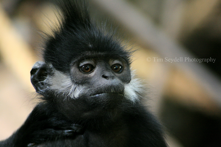 Francois Langur by timseydell