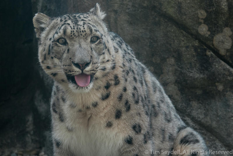 Snow Leopard 2 by timseydell