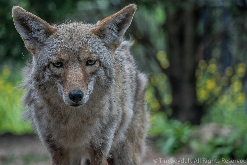 Coyote by timseydell