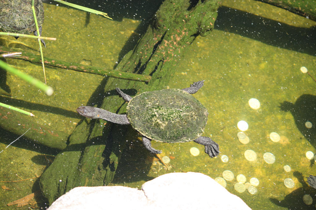 Eastern Snake Necked Turtle by Charmed-Ravenclaw