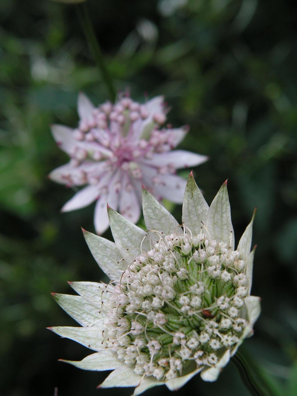 garlic flower by doko stock on DeviantArt