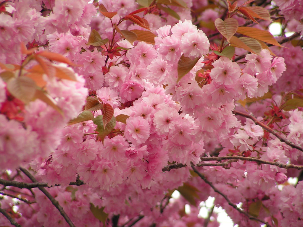 japanese cherry flowers by doko stock on DeviantArt