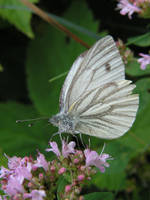 white butterfly by doko-stock