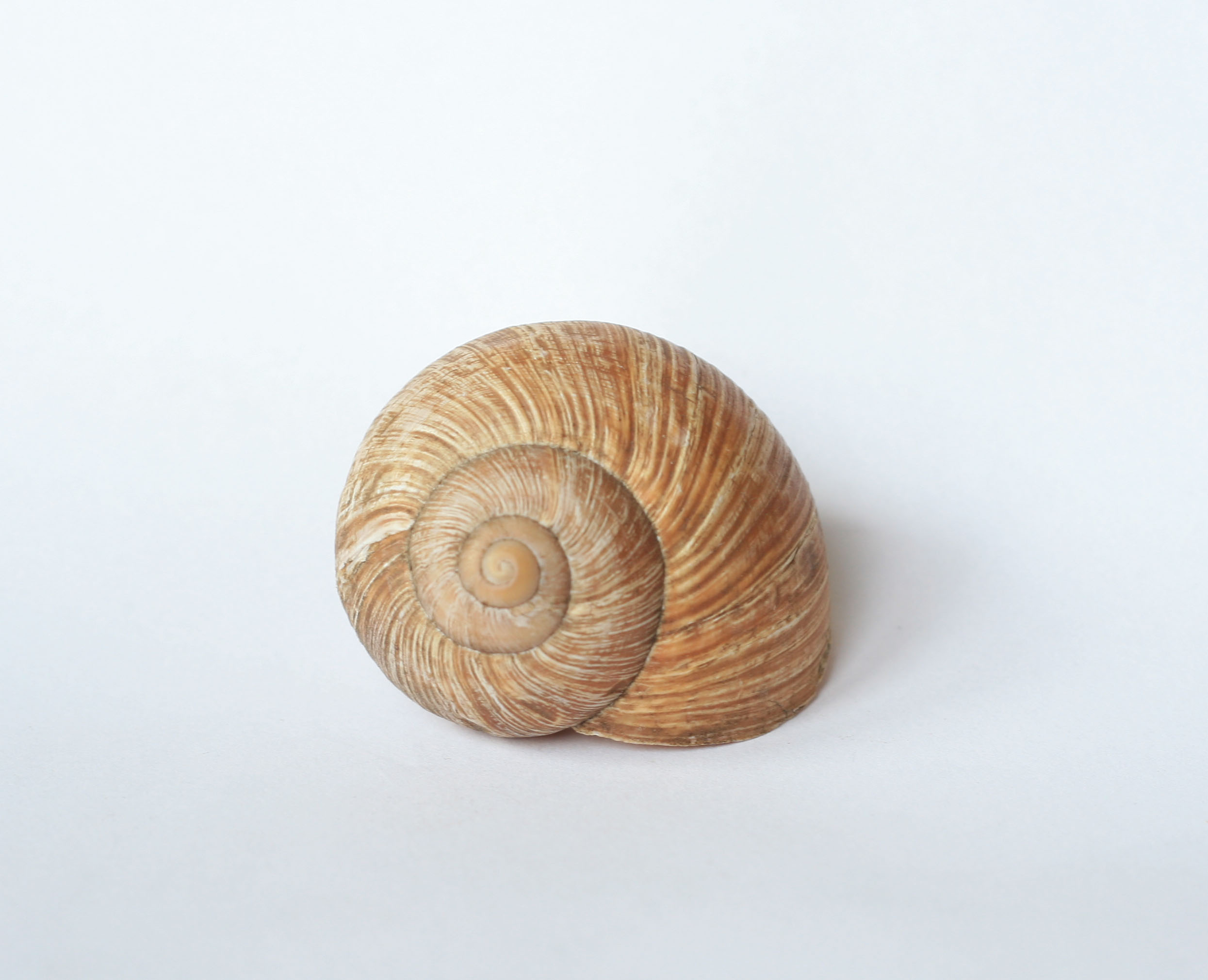 snail shell by doko stock  Shell