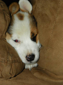Sleeps Wherever Puppy