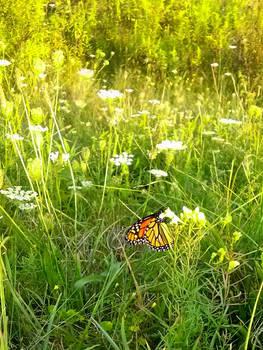 Little Monarch