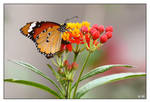 A Butterfly by lironha