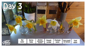 Daffodil Experiment day 3