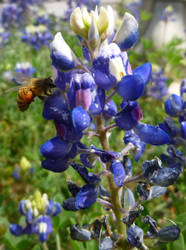 Bee in my Blue Bonnet