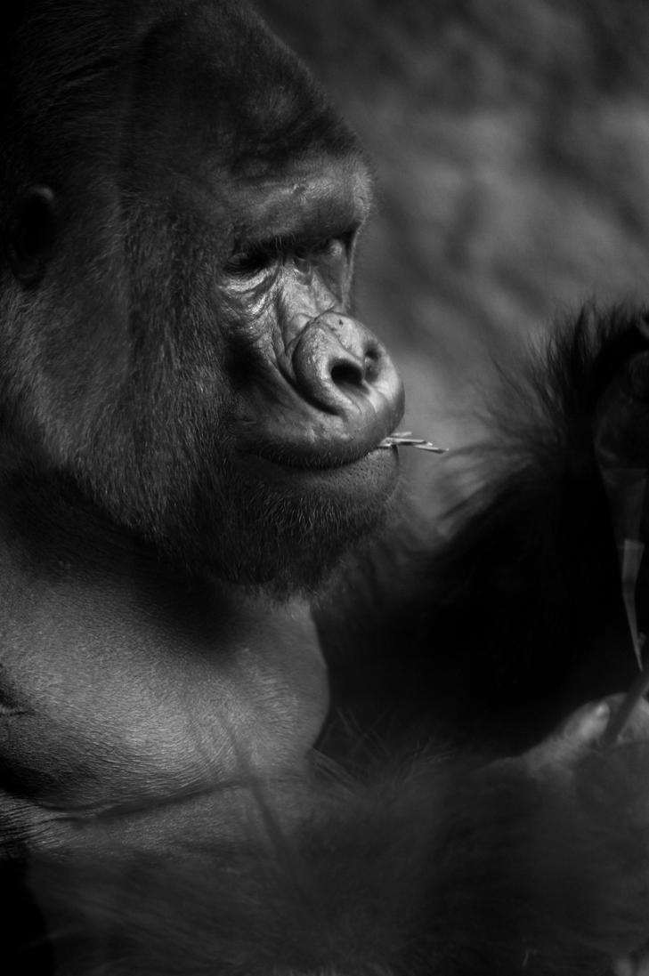 Gorilla by JDSPhotography