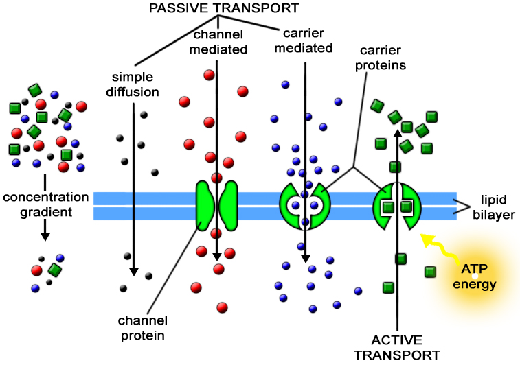 active and passive transport Active migration and passive transport of malaria parasites ross g douglas1,  rogerio amino2, photini sinnis3, and freddy frischknecht1 1 integrative.