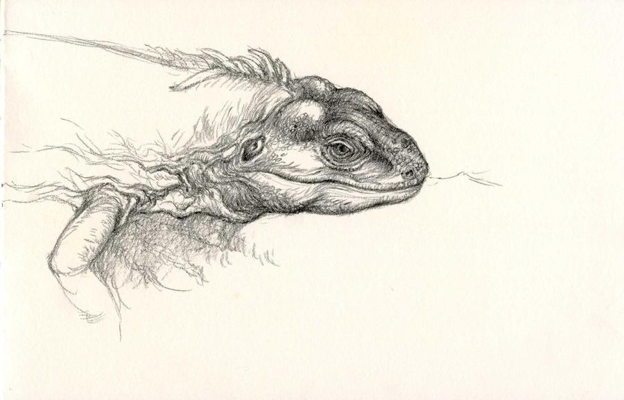 Utila Iguana Sketch by Himmapaan