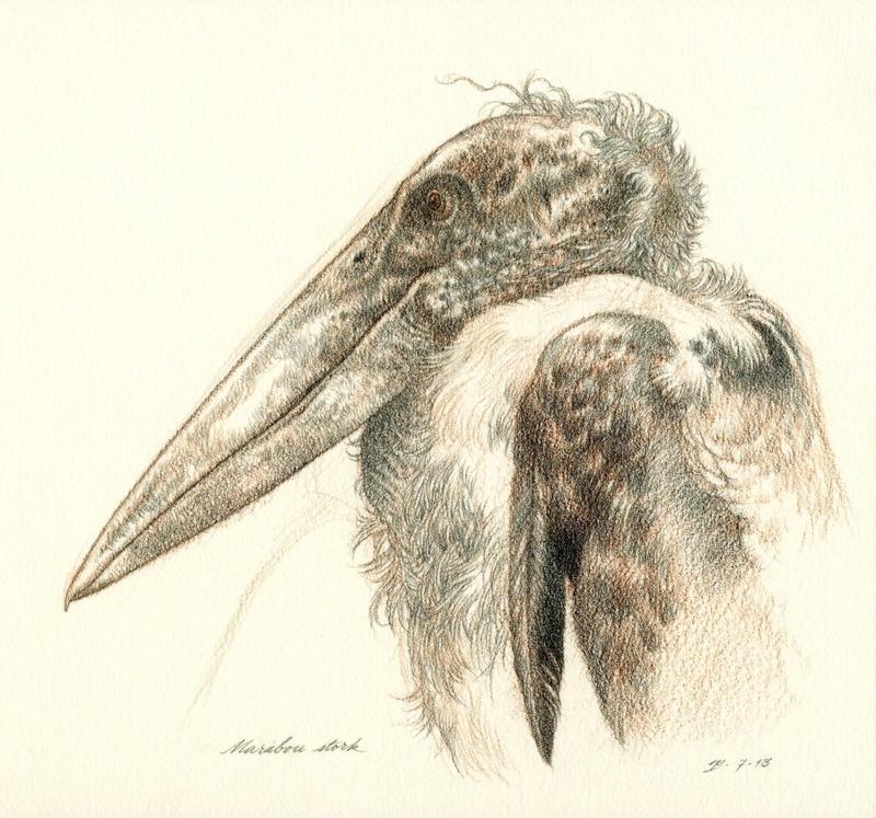 Marabou Stork Sketch by Himmapaan