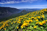 The annual Dog Mountain wildflower pilgrimage