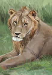 Portrait of a teenage lion