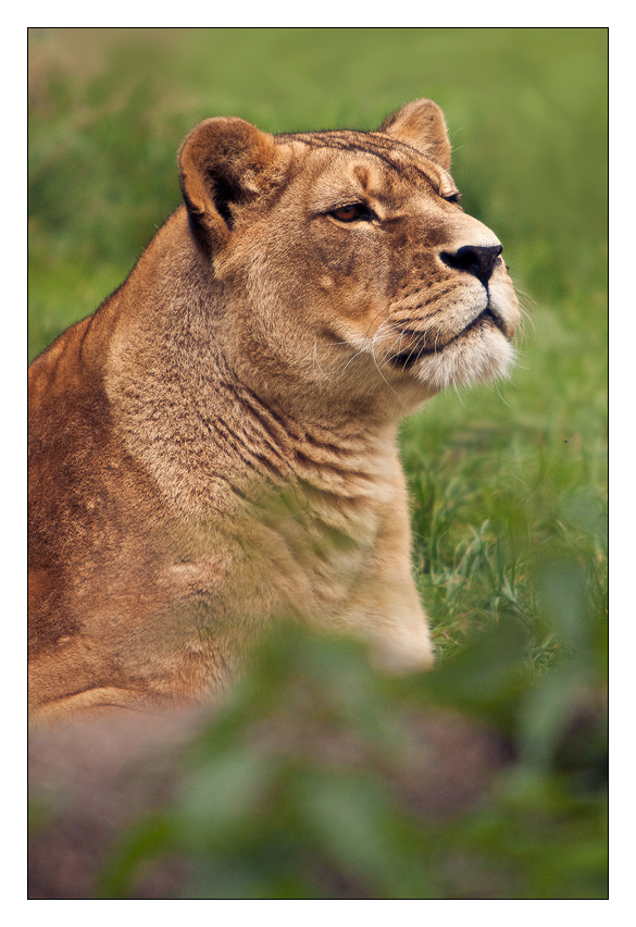 Lioness II by ReneAigner