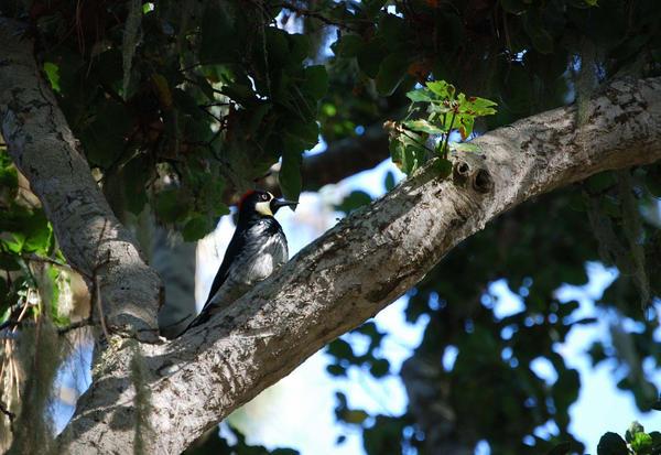 Acorn Woodpecker by morbidman187