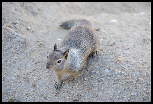 California Ground Squirrel by morbidman187