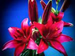 Stock Lilie 3 horthw
