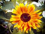 Stock Sonnenblume 2 horthw