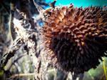 Stock Sonnenblume 3 horthw
