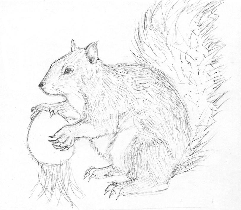 Squirrel pencil drawing