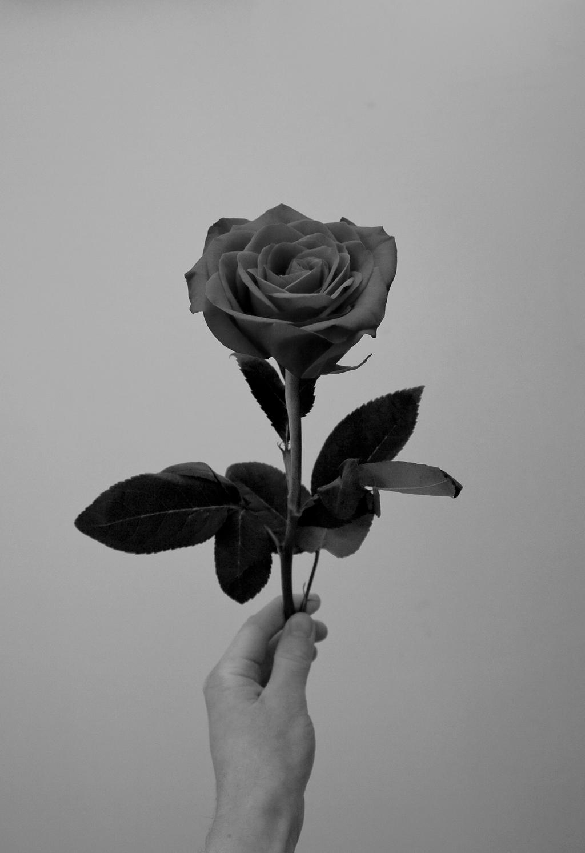 A Rose by aquifer