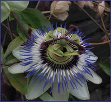 Passion : The Flower by aquifer