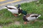 Duck Conversation