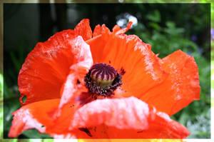 Orange Flower by aquifer