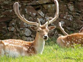 Fallow Deer by ady77