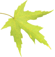 Leaf 01 PNG - Stock by Thy-Darkest-Hour
