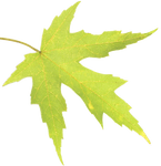 Leaf 01 PNG - Stock