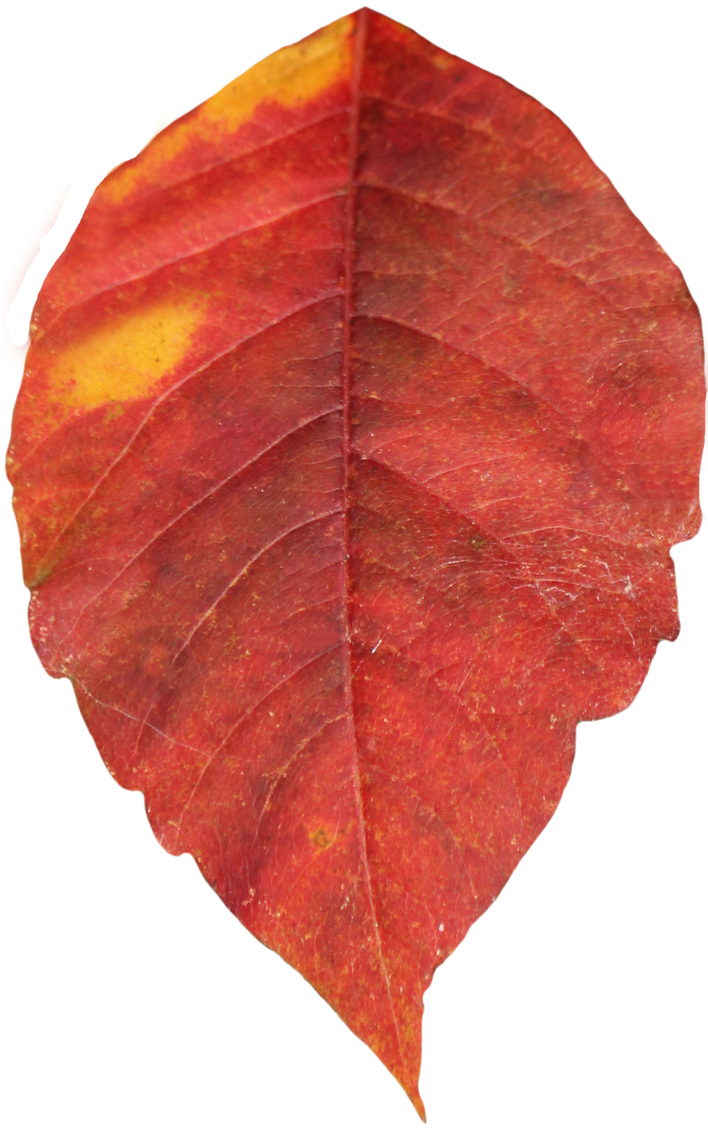 Leaf PNG 03 - Stock by Thy-Darkest-Hour