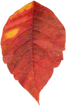 Leaf PNG 03 - Stock